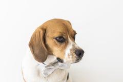 Perro del beagle en el fragmento de la cabeza de la corbata de lazo Foto de archivo libre de regalías