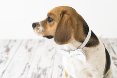 Perro del beagle en el fragmento de la cabeza de la corbata de lazo de lado Fotos de archivo