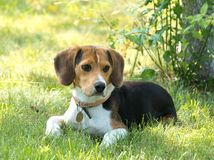 Perro del beagle en el jardín fotografía de archivo libre de regalías