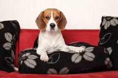 Perro del beagle en el sofá rojo Fotografía de archivo libre de regalías