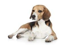 Perro del beagle en estudio en un fondo blanco Foto de archivo libre de regalías