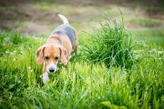 Perro del beagle en hierba Fotos de archivo libres de regalías