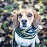 Perro del beagle en la bufanda rayada que se sienta en la tierra cubierta con las hojas caidas en autum Imagen de archivo libre de regalías