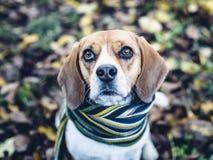 Perro del beagle en la bufanda rayada que se sienta en la tierra cubierta con las hojas caidas en autum Fotos de archivo libres de regalías