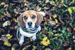 Perro del beagle en la bufanda rayada que se sienta en la tierra cubierta con las hojas caidas en autum Imágenes de archivo libres de regalías