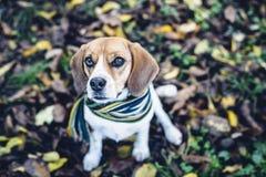 Perro del beagle en la bufanda rayada que se sienta en la tierra cubierta con las hojas caidas en autum Fotografía de archivo libre de regalías
