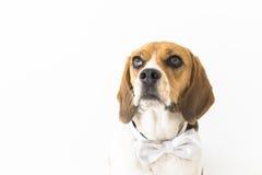 Perro del beagle en la corbata de lazo que mira para arriba el fragmento principal Fotografía de archivo libre de regalías