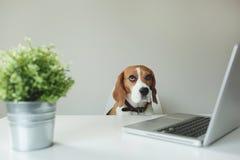 Perro del beagle en la tabla de la oficina con el ordenador portátil Foto de archivo
