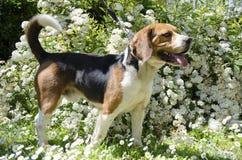 Perro del beagle en las flores blancas Fotos de archivo