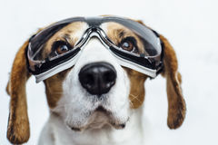 Perro del beagle en las gafas de seguridad que miran para arriba Imagen de archivo libre de regalías