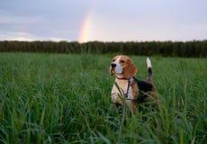 Perro del beagle en un fondo de un arco iris Imagen de archivo
