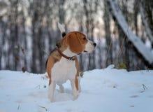 Perro del beagle para un paseo en el bosque Fotografía de archivo libre de regalías