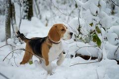 Perro del beagle para un paseo en el bosque Imagen de archivo
