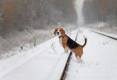 Perro del beagle para un paseo en el bosque Foto de archivo libre de regalías