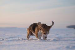 Perro del beagle que corre en la nieve Fotos de archivo libres de regalías