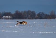 Perro del beagle que corre en la nieve Imagenes de archivo