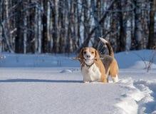Perro del beagle que corre en la nieve Foto de archivo