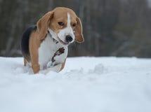 Perro del beagle que corre en la nieve Imágenes de archivo libres de regalías
