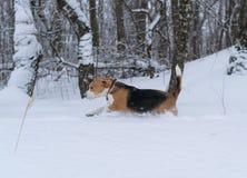 Perro del beagle que corre en la nieve Fotos de archivo