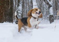 Perro del beagle que corre en la nieve Fotografía de archivo libre de regalías