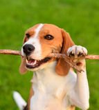 Perro del beagle que juega con el palillo Fotografía de archivo
