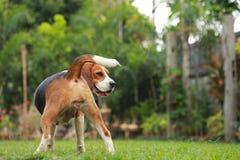 Perro del beagle que parece alerta en ciclo del estro Fotografía de archivo libre de regalías
