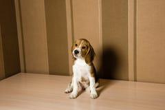 Perro del beagle que presenta delante de la pared fotos de archivo