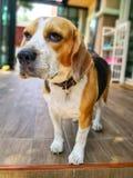 Perro del beagle que se coloca solamente imagen de archivo libre de regalías