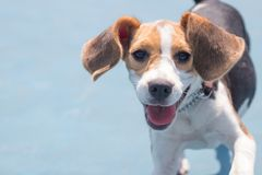 Perro del beagle que se divierte en el parque con una cara sonriente imagenes de archivo