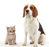 Perro del beagle que se sienta Foto de archivo libre de regalías