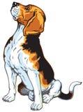 Perro del beagle que se sienta Imagen de archivo libre de regalías