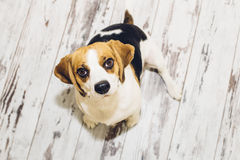 Perro del beagle que se sienta en el piso de vintage-mirada que mira en cámara Imagen de archivo