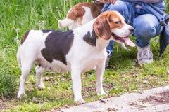 perro del beagle que vive en Bélgica imagenes de archivo