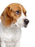 Perro del beagle. Retrato del primer Fotografía de archivo libre de regalías