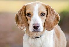 Perro del beagle, Walton County Animal Shelter Imágenes de archivo libres de regalías