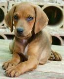 Perro del bebé Fotos de archivo