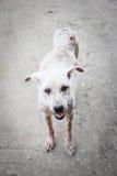 Perro del blanco de la sarna Foto de archivo