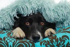 Perro del border collie cubierto con una manta suave Imagenes de archivo