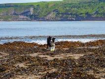 Perro del border collie en alga marina foto de archivo libre de regalías