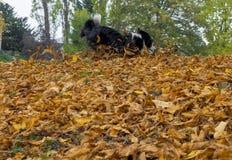 Perro del border collie que juega en hojas del otoño Imagen de archivo