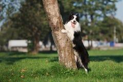 perro del border collie que presenta por un árbol Imagen de archivo
