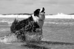 Perro del border collie, retrato de alta velocidad de la acción en la playa Foto de archivo libre de regalías