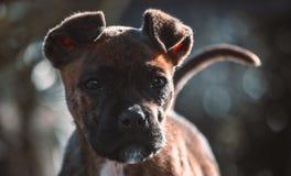 Perro del boxeador foto de archivo libre de regalías