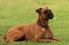 Perro del boxeador Imagen de archivo