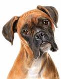Perro del boxeador Fotografía de archivo