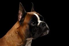 Perro del boxeador aislado en fondo negro Fotografía de archivo libre de regalías