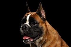 Perro del boxeador aislado en fondo negro Fotografía de archivo