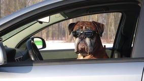 Perro del boxeador con las gafas de sol que se sientan en el asiento de conductor almacen de metraje de vídeo