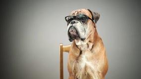 Perro del boxeador con las lentes almacen de video