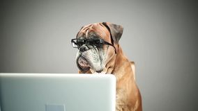 Perro del boxeador con las lentes que trabajan en el ordenador portátil